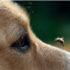 Các triệu chứng và kinh nghiệm xử lý khi chó bị ong đốt.