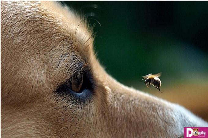 Cảnh giác với các triệu chứng khi chó bị ong chích