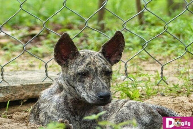 Chó Phú Quốc nên sống trong môi trường gần gũi với thiên nhiên để phát triển tốt nhất
