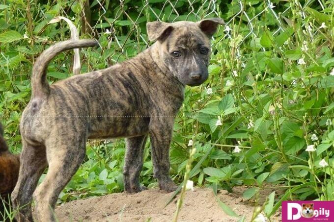 Kinh nghiệm chăm sóc chó Phú Quốc ngay từ khi còn bé