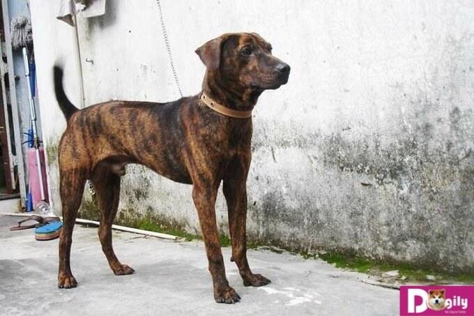 Việc vệ sinh cho chó Phú Quốc cũng rất quan trọng bạn nhé