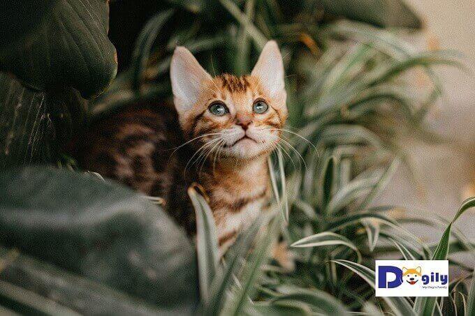 Tất cả mèo Bengal con được Dogily Cattery bán ra đều được tiêm chủng 2 mũi. Kiểm tra sức khỏe tổng thể trước khi giao cho khách hàng.