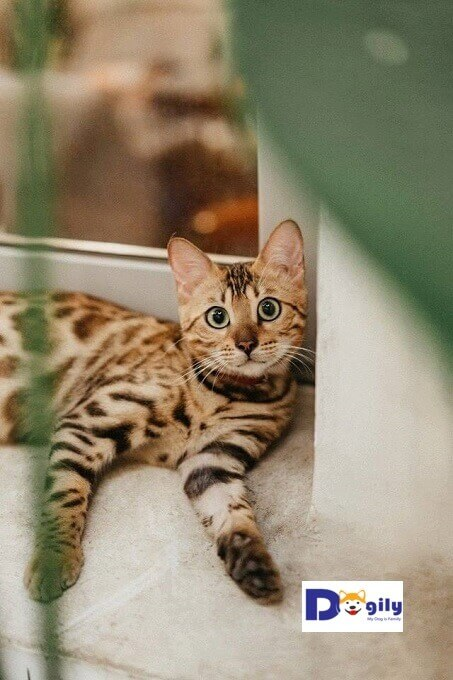 Hình ảnh cô mèo Catherine của Dogily Cattery. Thảnh thơi trên khung cửa mỗi ngày...