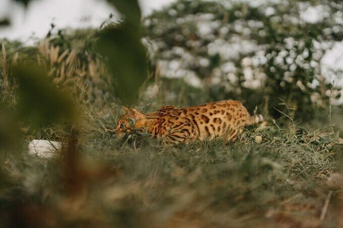 Hình ảnh mèo mẹ Beo cực đẹp có bố mẹ nhập khẩu Nga