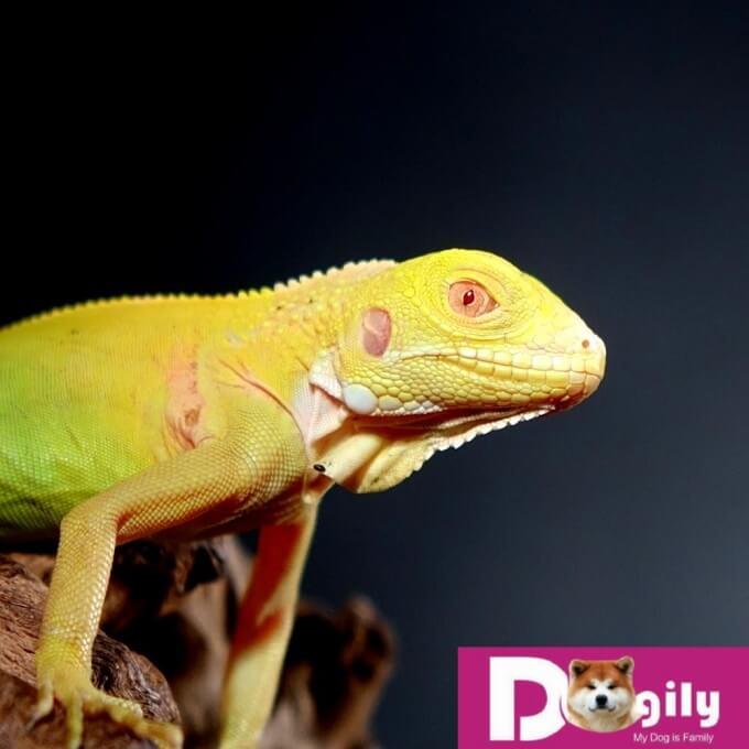 Hình ảnh một em rồng Nam Mỹ vàng bạch tạng cực kỳ quý hiếm. Không chỉ ở Việt Nam mà còn trên thế giới. Hình trên: Một em Albion Iguana đẹp hoàn hảo từng milimet.