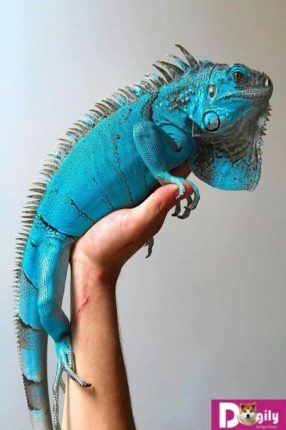 Blue iguana cực hiếm tại Việt Nam. Nếu có, giá bán cũng gấp 5-6. Giá bán rồng Nam Mỹ xanh dương thường đắt gấp 5-6 lần so với red iguana. Hình trên 1 bé Blue Iguana tuyệt phẩm.