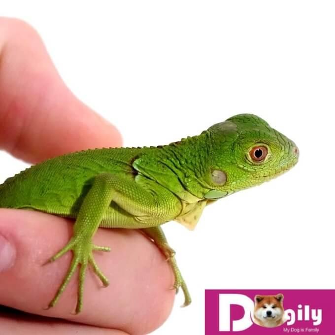 Giá rồng Nam mỹ Green Iguana là rẻ nhất. Hình trên một em Green Iguana baby.