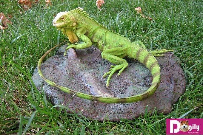 Rồng Nam Mỹ iguana rất thích sưởi ấm trên những tảng đá bằng phẳng.