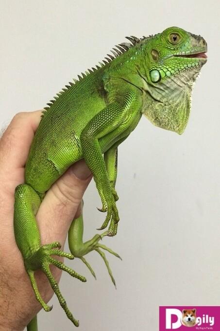 Hình ảnh rồng Nam Mỹ xanh lá. Green iguana có giá bán rẻ nhất và phổ biến nhất tại Việt nam cũng như trên thế giới.
