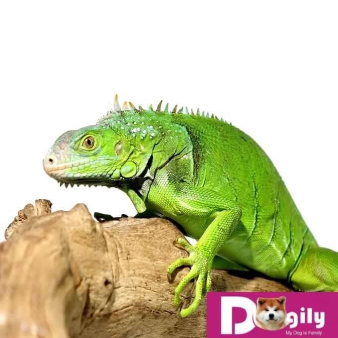 """Mặc dù có ngoại hình khá """"ngầu"""". Nhưng thực ra rồng Nam Mỹ Iguana rất ngoan."""