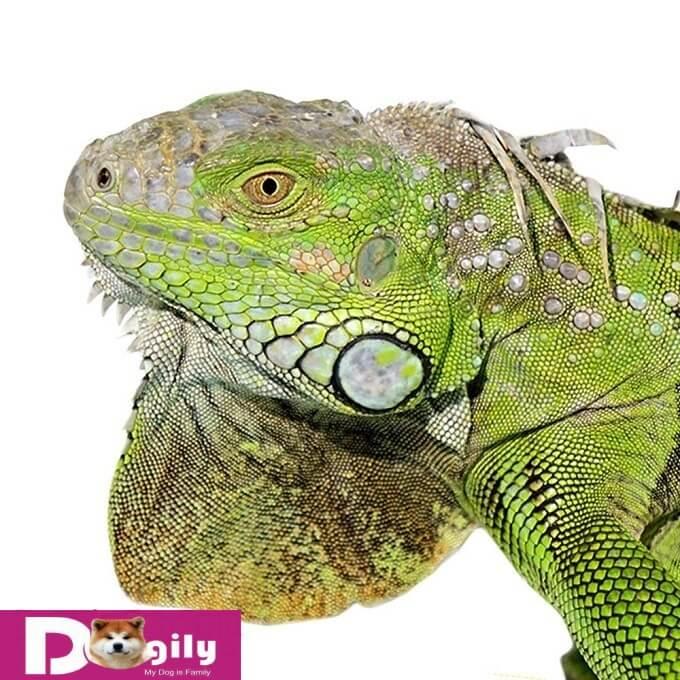 Rồng Nam Mỹ đực có thể thay đổ màu sắc trong thời kỳ giao phối. Nhưng màu chủ đạo vẫn giữ nguyên. Hình trên một em green iguanan đực với những mảng màu vàng cam tuyệt đẹp