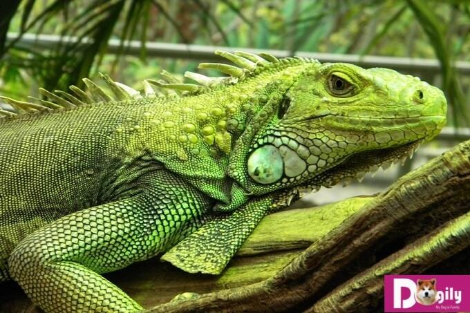 Rồng Nam Mỹ iguana là một bậc thầy về ngụy trang. Với bộ da đầy màu sắc. Hình trên một em green iguana lẫn trong tán lá rừng cực khó phát hiện.