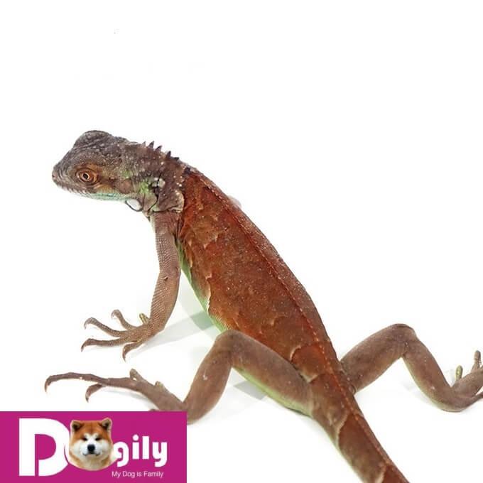 Giá bán rồng Nam Mỹ Red Iguana cao hơn giá Green Iguana khoảng 20-30%