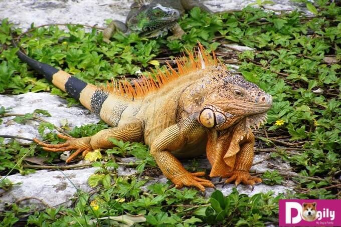 Rồng Nam Mỹ Iguana có chiều dài tối đa khoảng 2m. Hình trên là một em red Iguana trưởng thành.