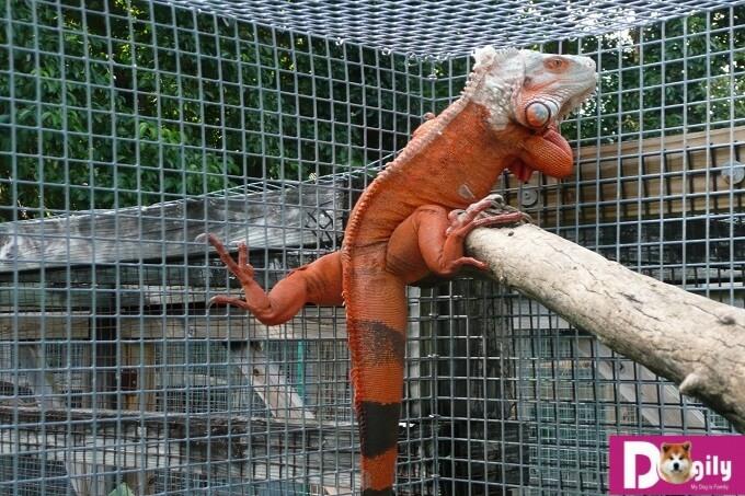 """Bạn nên chọn mua rồng Nam Mỹ Iguana từ những người bán, nhà nhân giống uy tín, chuyên nghiệp. Không nên mua Iguana có nguồn gốc Trung Quốc kẻo """"tiền mất, tật mang""""."""