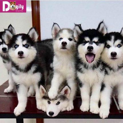 """Đàn chó con Alaskan """"nhí nhố"""" cực dễ thương"""