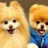 Cách chọn nuôi chó theo phong thủy, hợp mệnh chủ nhân bạn nên biết.
