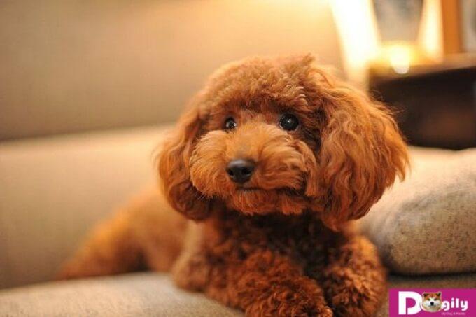 Người mệnh hỏa thì nên chọn một chú chó Poodle nâu đỏ dễ thương
