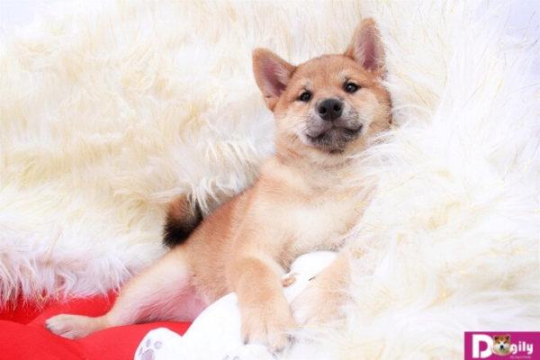 Mở bán đàn chó Shiba tháng 1.2019 gần 3 tháng tuổi