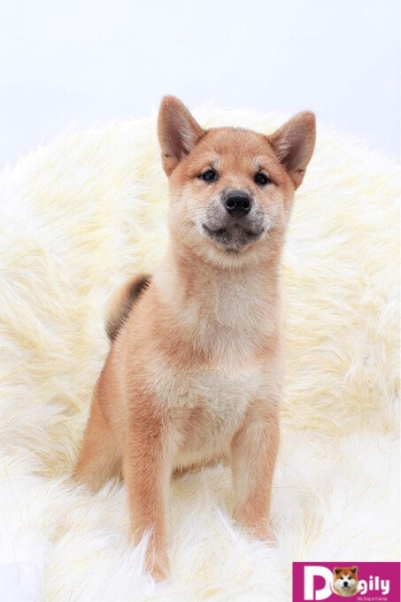 Bạn có thể mua đàn Shiba tháng 1 tại các điểm bán của Dogily Petshop tại Hà nội và Tphcm, mua online hoặc trực tiếp tại trang trại Dogily Kennel