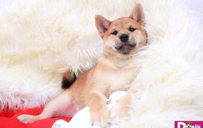Giá chó Shiba inu phụ thuộc vào nhiều yếu tố như nguồn gốc, xuất xứ, màu lông, độ tuổi.