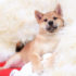 Bảng giá chó Shiba Inu con tại Việt Nam năm 2019 | Các yếu tố cấu thành giá bán chó Shiba Inu Nhật Bản