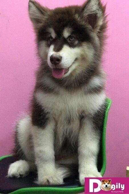 Bạn có thể hoàn toàn yên tâm khi mua chó Alaska từ Dogily Petshop. Với chính sách bảo hành dài hạn. Mua bán chó Alaska giấy tờ rõ ràng. Chó con được tiêm phòng đầy đủ