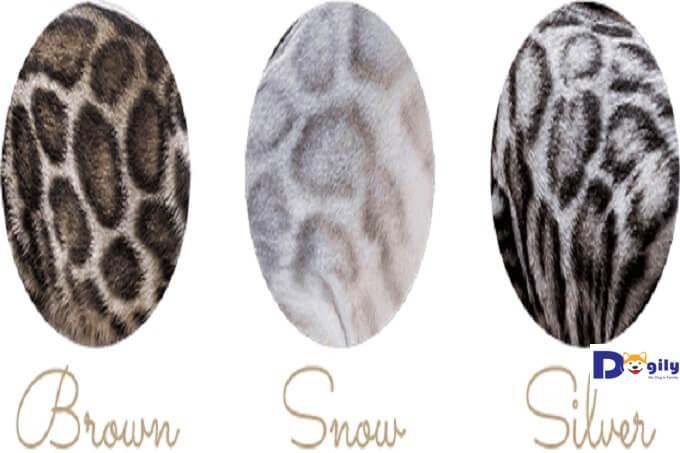 Hình ảnh họa tiết hình cánh hồng (rosetted) trên các màu lông mèo bengal: màu nâu đỏ (brown bengal), màu tuyết (snow bengal) và màu bạc (silver bengal).