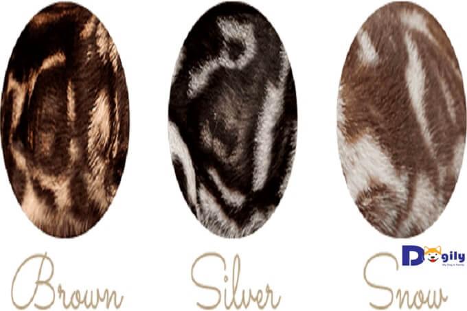 Hình ảnh họa tiết cẩm thạch trên bộ lông mèo Bengal (marble bengal).