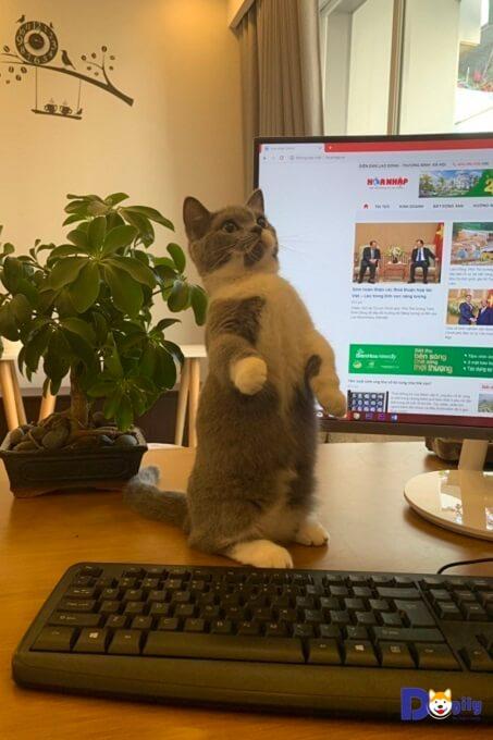 mèo munchkin đep đang đùa giỡn cùng máy tính