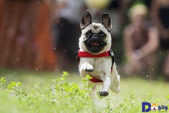 Cách chăm sóc chó Pug khoa học, hiệu quả nhất.