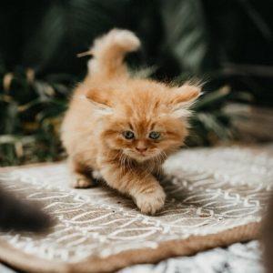 Bán đàn mèo anh lông dài nhiều màu sắc và dễ thương
