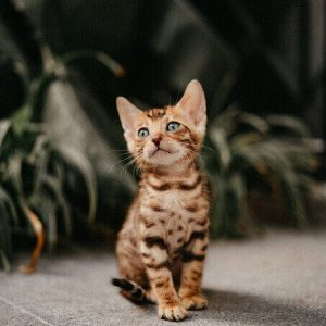 Bán mèo Bengal con thuần chủng.