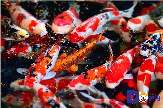 Hiện nay cá Koi Nhật được yêu thích trên toàn thế giới
