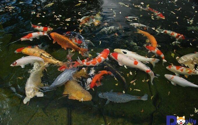 Hồ cá Koi Nhật Bản