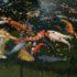 Những sự thật đằng sau cá Koi Nhật Bản – điềm may mắn của xứ sở Phù Tang
