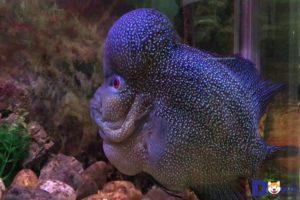 Cá La Hán màu đen là dòng cá rất quý được nhiều người chơi cá cảnh săn lùng.
