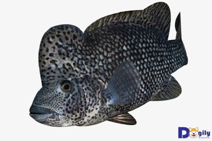 Thức ăn của loài cá La Hán này rất phong phú, đa dạng như mực cá nhỏ, thịt lợn xay, tôm bóc nõn.