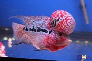 Cá La Hán là dòng cá lai.