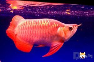 Cá rồng - loài cá đắt đỏ bậc nhất thế giới