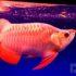 Vén màn bí mật về Cá Rồng – loại cá đắt đỏ bậc nhất thế giới