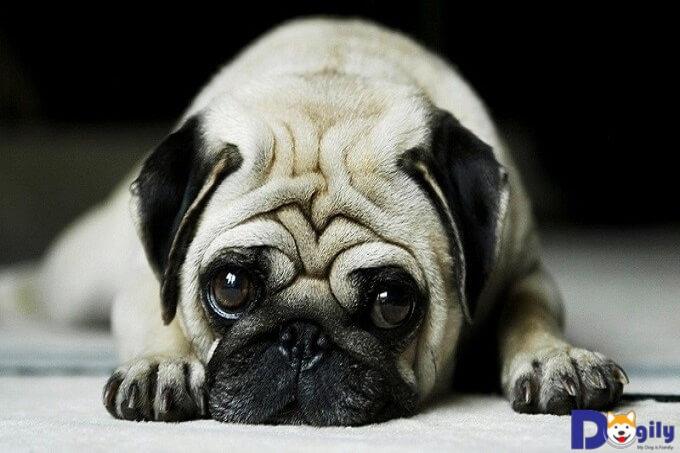 Cách chăm sóc chó Pug như thế nào là đúng?