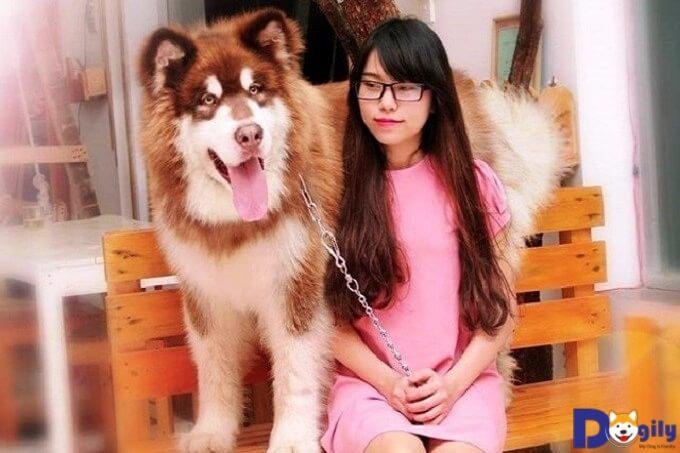 Chó Alaska lông dài dogily