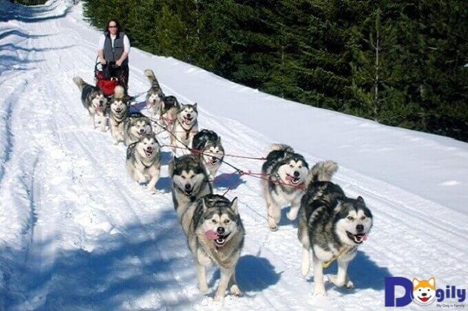 Chó Alaska Malamute được dùng để kéo xe tuyết