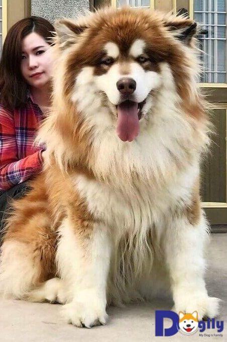 Chó Alaska Malamute Giant có kích thước to lớn