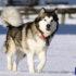 Những điều bạn nên biết về giống chó Alaska Malamute