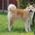 Vì sao giá chó Akita luôn nằm trong TOP giống chó đắt nhất tại Việt Nam?