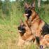 Có nên mua chó becgie giá rẻ hay không? Địa chỉ bán chó becgie thuần chủng uy tín