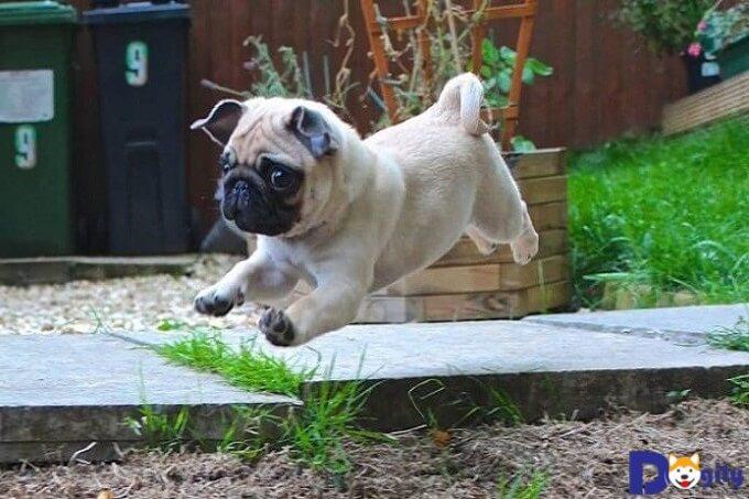 Chó Pug từ 2 đến 6 tháng tuổi cần có khẩu phần ăn là những thức ăn mềm và nhuyễn