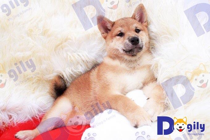 Chó Shiba sinh tại Việt Nam hoàn toàn đảm bảo về độ thuần chủng. Tuy nhiên, thế hệ F2 chất lượng và ngoại hình nhìn chung không được như F1 có bố mẹ nhập khẩu.